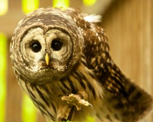 OWLS OF MAINE: HABITS AND ADAPTATIONS OF MAINE'S NATIVE OWLS